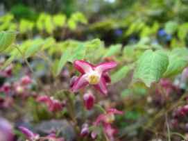 Epimedium x youngianum 'Roseum' 1