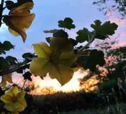 fremontodendron californicum couché de soleil