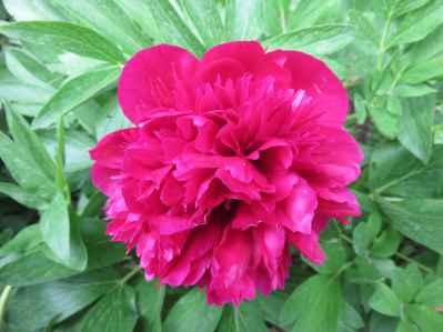 Paeonia sp