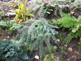 Adianthuum pedatum_Dryopteris erythrosora_blechnum spicant_andanother