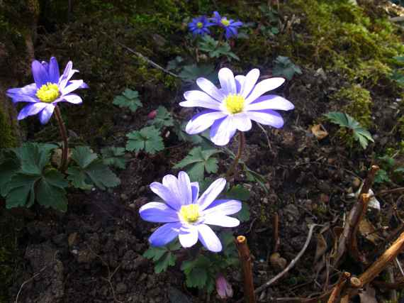 Anemone blanda 3