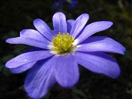 Anemone blanda 4