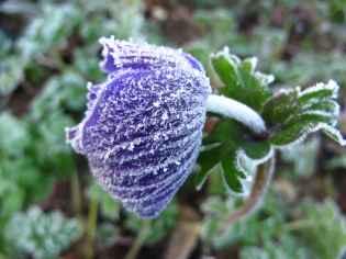 Anemone de Caen bleu frozen