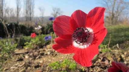 Anemone de Caen rouge