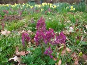 Corydalis solida Narcissus background
