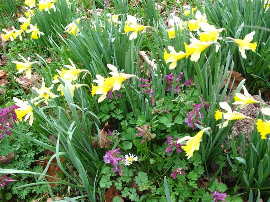 Corydalis solida Narcissus
