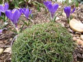 Dianthus Crocus
