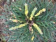 mahonia eurybracteata 'soft caress' Frozen