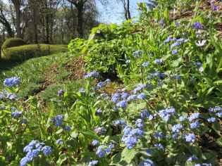 Myosotis alpestris and brunnera macrophylla 'Jack Frost'