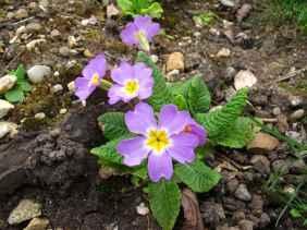 Primula vulgaris 2
