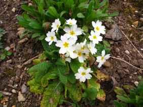 Primula vulgaris 3