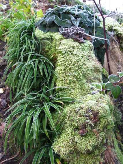 Reineckea carnea_Cornus alternifolia_Cyclamen