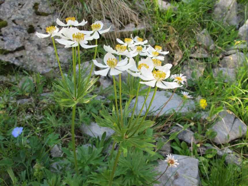 Anemone narcissiflora (1)