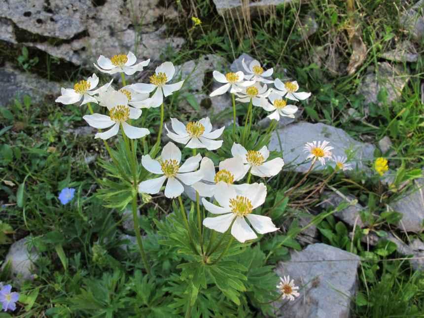 Anemone narcissiflora (2)