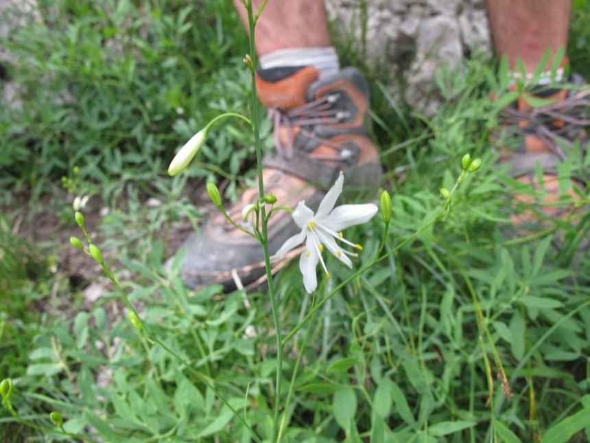 Anthericum ramosum (3)