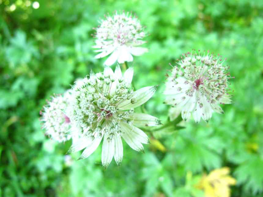 Astrantia major  (4)