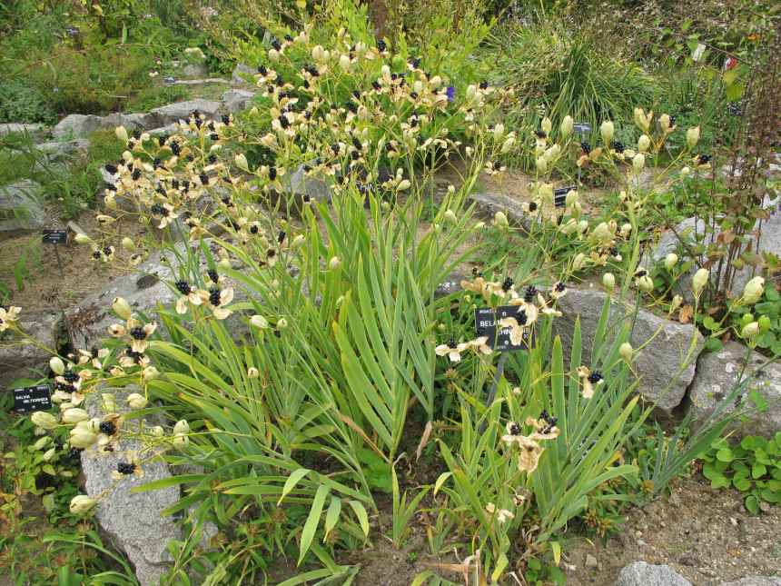 Belamcanda chinensis (2)