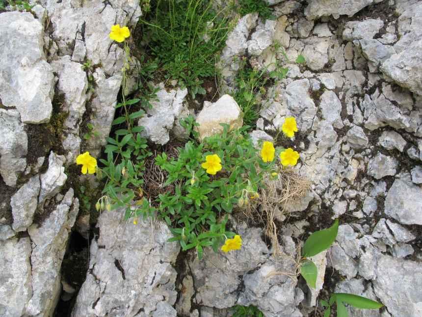 Helianthemum alpestre (1)