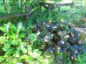 Ligularia Hosta