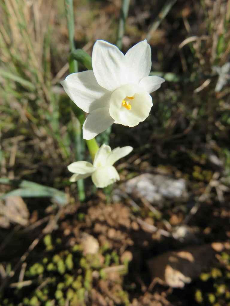 Narcissus dubius 1