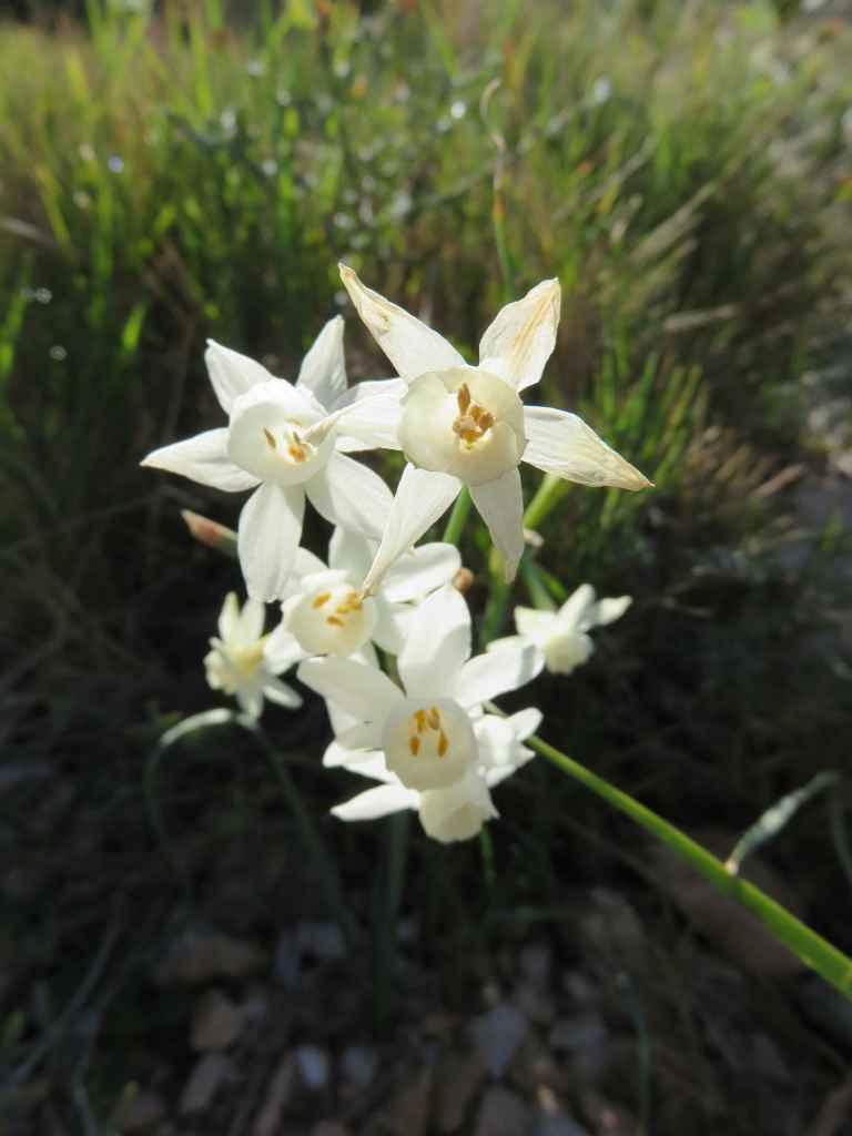 Narcissus dubius 2