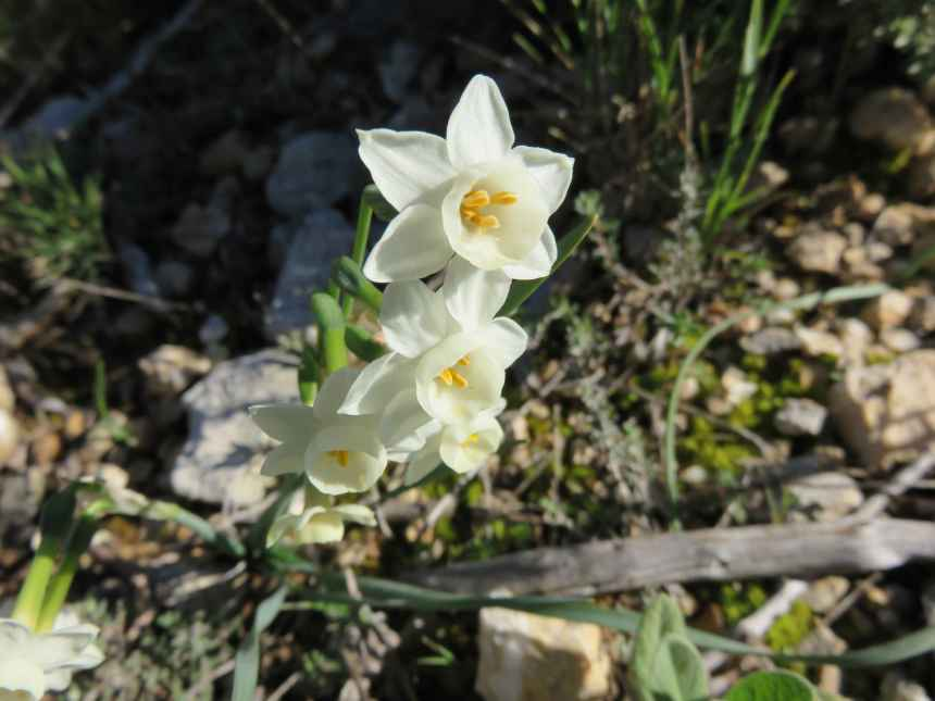 Narcissus dubius