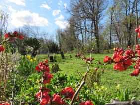 Salix erythroflexuosa Prunus kojo no mai tulipa chaenomeles
