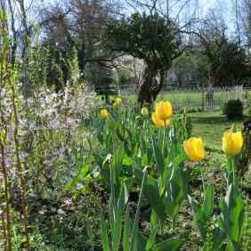 Salix erythroflexuosa Prunus kojo no mai tulipa