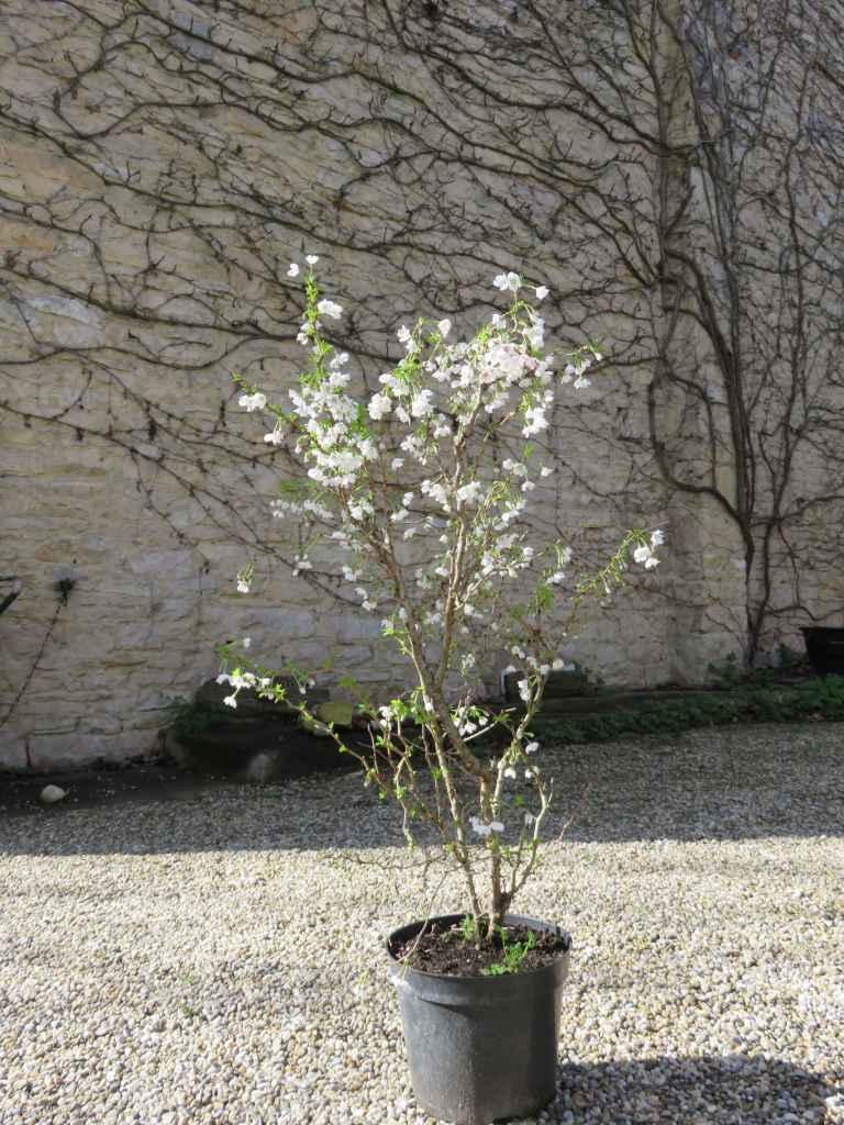Prunus incisa 'Kojo No Mai' 1