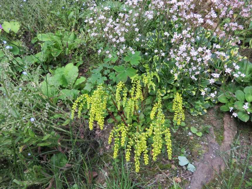 Chiastophyllum oppositifolium 1