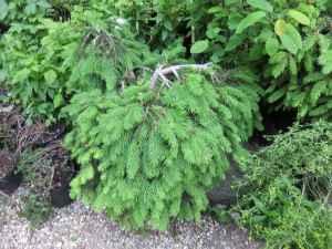Picea abies 'Formanek'