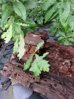 petit chêne et vieux bois
