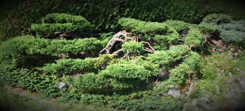 Niwaki 2012 (7)