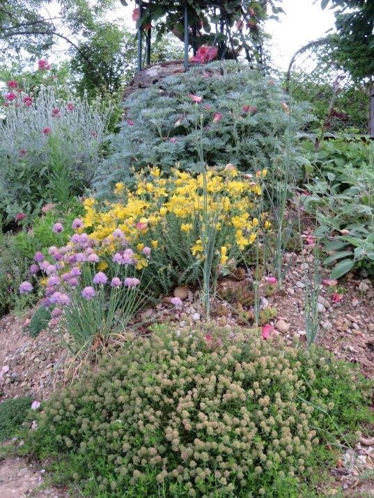 Allium schoenoprasum Helychrisum italicum