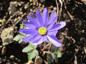 Anemone blanda (2)