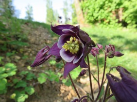 Aquilegia x Winky blue and white