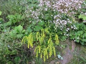 Chiastophyllum oppositifolium (1)