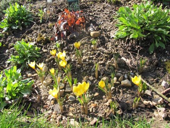 Crocus chrysanthus Dorothy