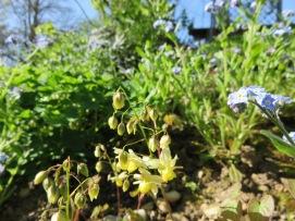 Epimedium grandiflorum Myosotis