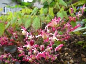 Epimedium youngianum 'Roseum' (1)