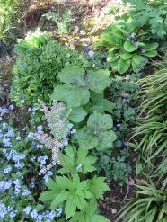 Podophyllum Muckdenia Reineckea