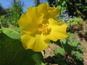 Stylophorum lasiocarpum (2)