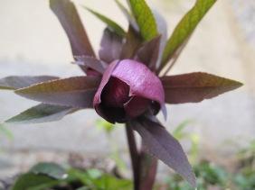 Helleborus orientalis 'Red Lady'