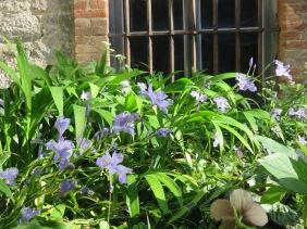Iris confusa floraison