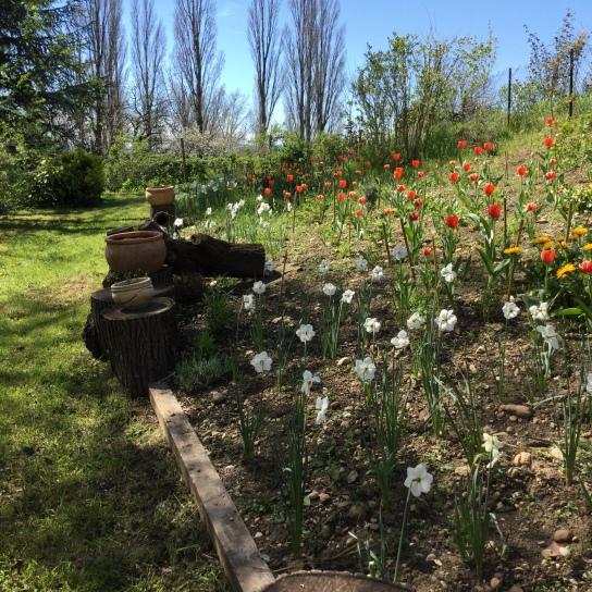 Narcissus et Tulipa