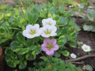Saxifraga x arendsii Saxifraga x urbium variegatum