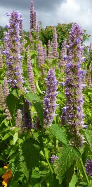 Agastache rugosa fleur (2)