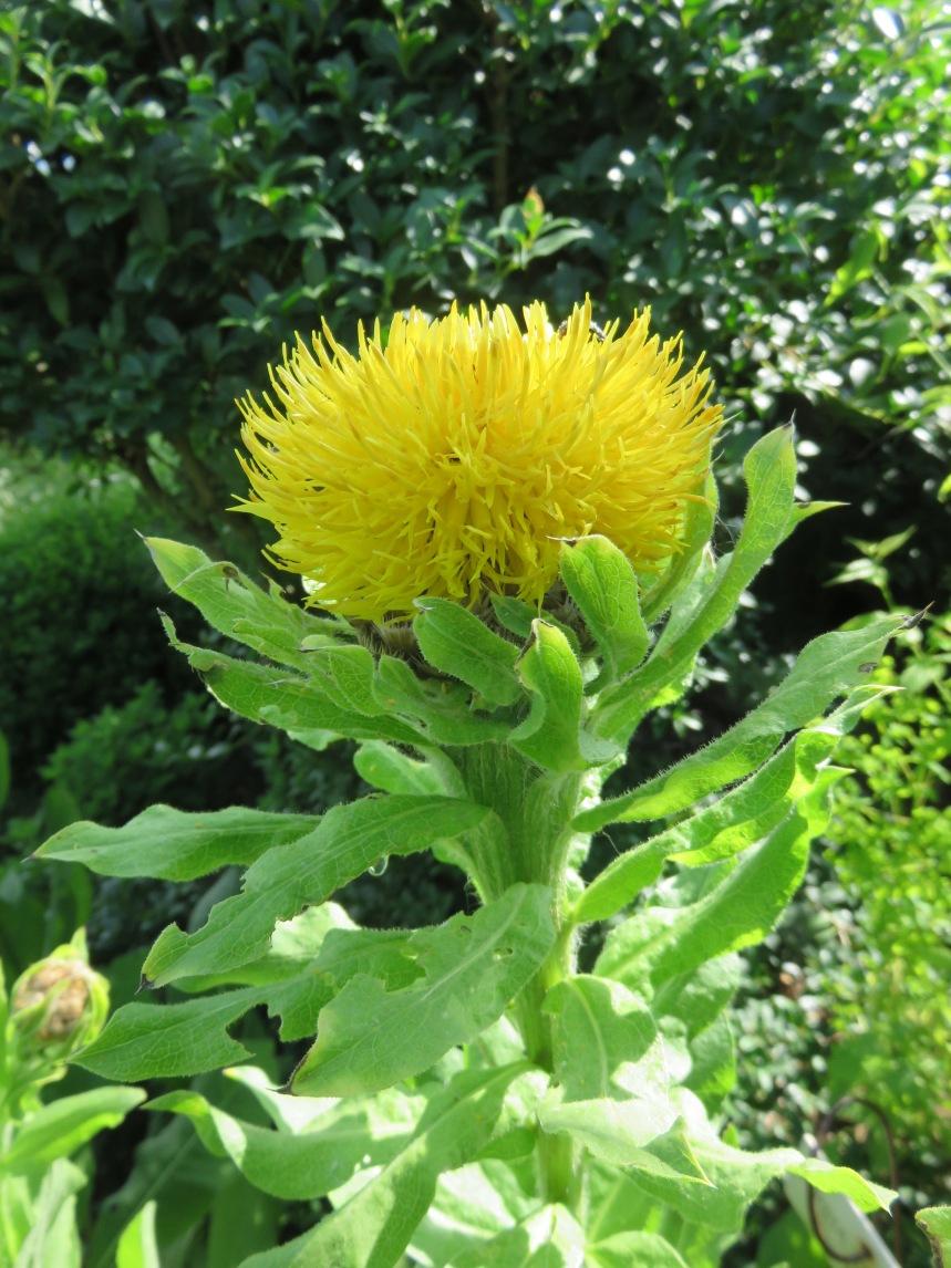 Centaurea macrocephala (3)