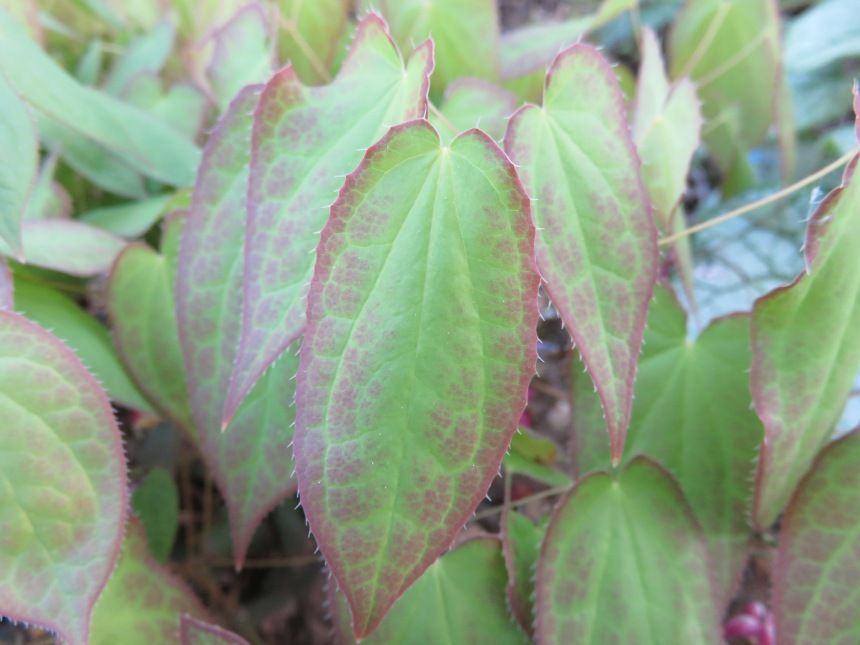 Epimedium youngianum 'Roseum' spring leaves