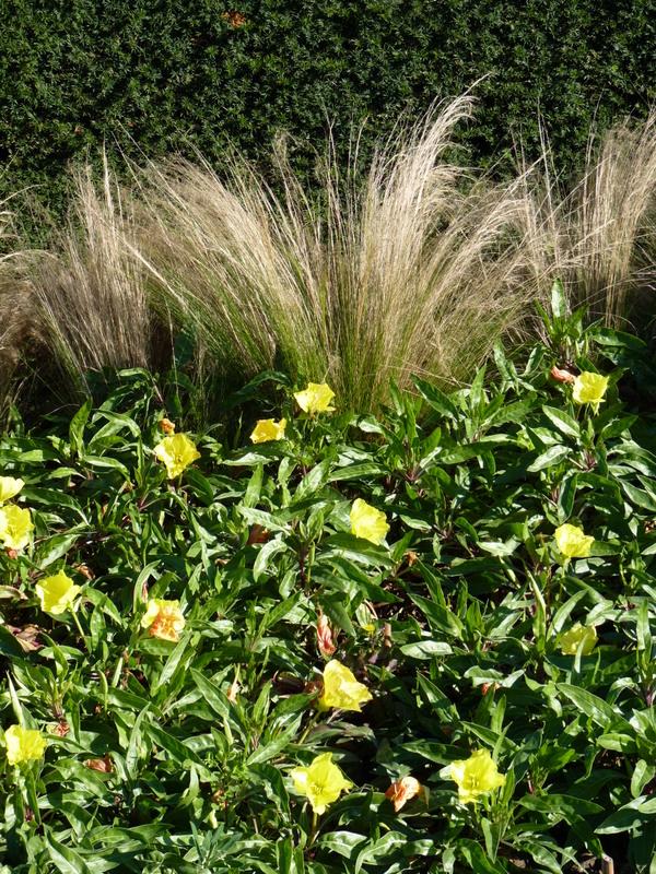 Oenothera et stipa-Sir-Brouté